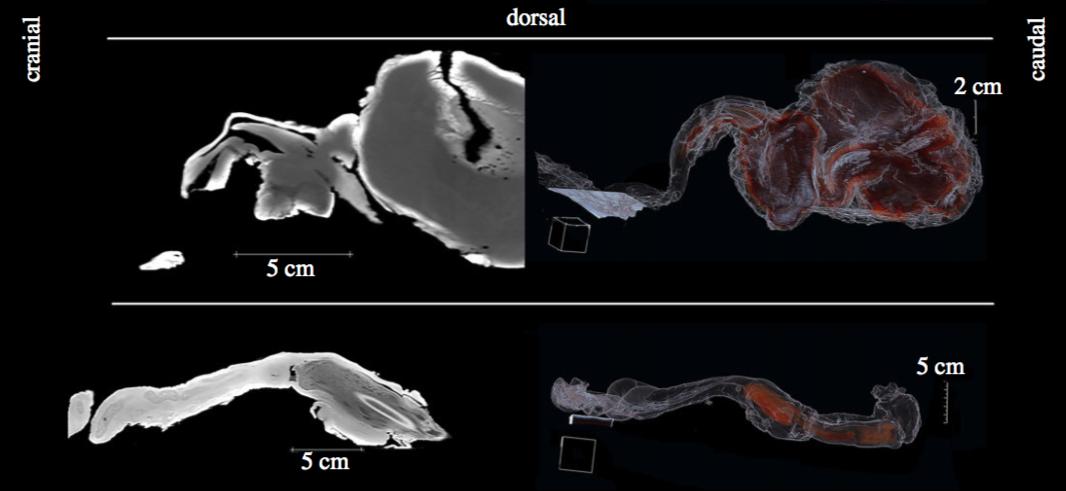DiceCT reconstructions of marine mammal copulatory anatomy